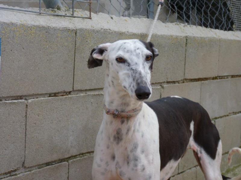 Lacama, galga noire et blanche, 3 ans Scooby France Adoptée  P1300832