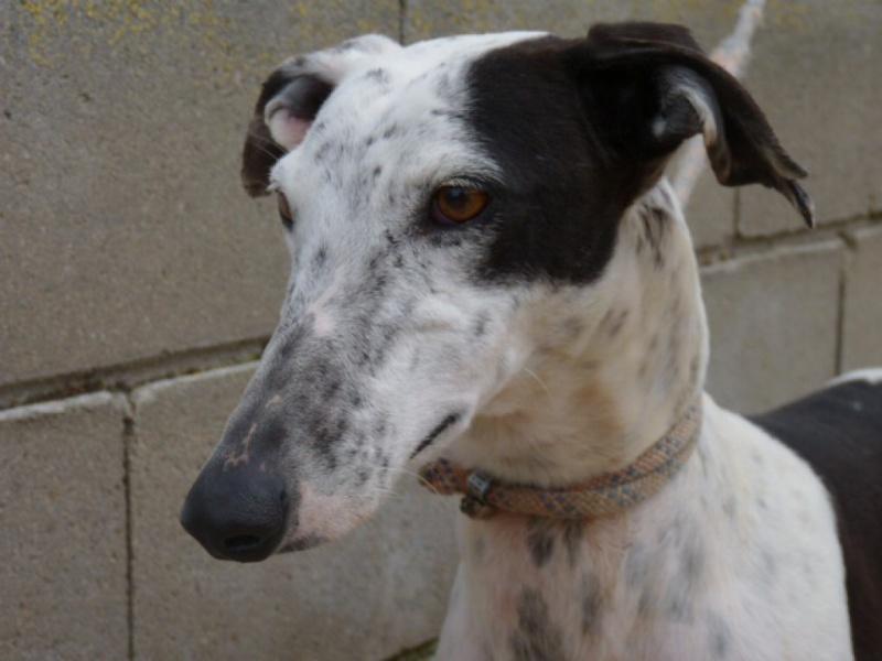 Lacama, galga noire et blanche, 3 ans Scooby France Adoptée  P1300833