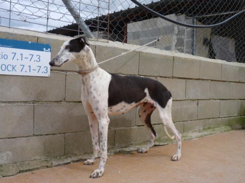 Lacama, galga noire et blanche, 3 ans Scooby France Adoptée  P1300834