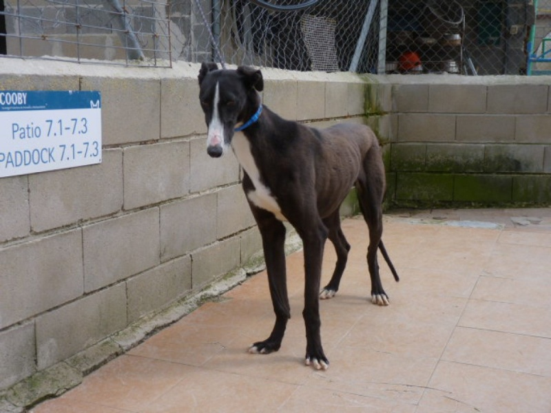 Jorgito, galgo noir et blanc, 2 ans  Scooby France Adopté  P1300841