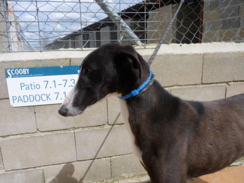 Jorgito, galgo noir et blanc, 2 ans  Scooby France Adopté  P1300842
