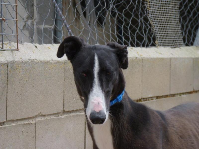 Jorgito, galgo noir et blanc, 2 ans  Scooby France Adopté  P1300843