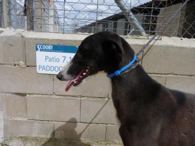 Jorgito, galgo noir et blanc, 2 ans  Scooby France Adopté  P1300919