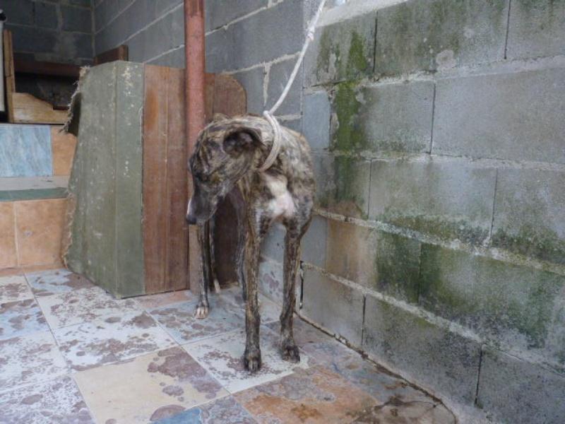 Aladino, galgo bringé qui n a pas 2 ans refuge de scooby  P1320017