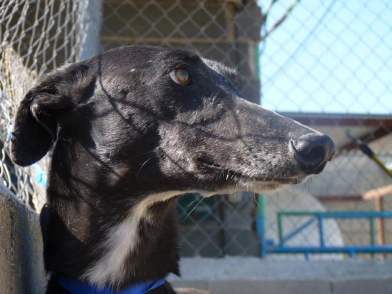 Amador, magnifique galgo noir, 3 ans P1320114
