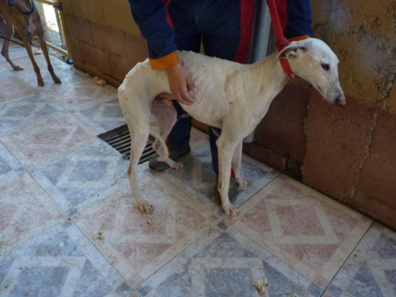Tonin, galgo blanc, 4 ans Scooby France Adopté  Tonin110