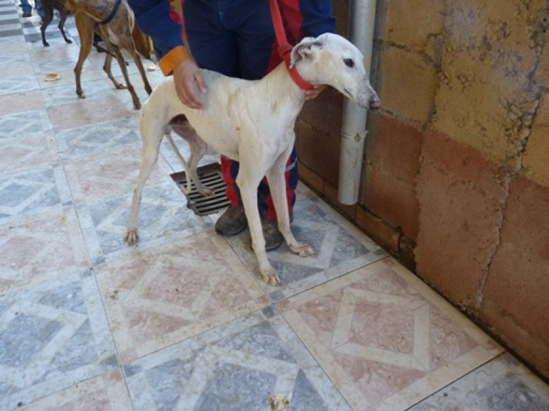 Tonin, galgo blanc, 4 ans Scooby France Adopté  Tonin210