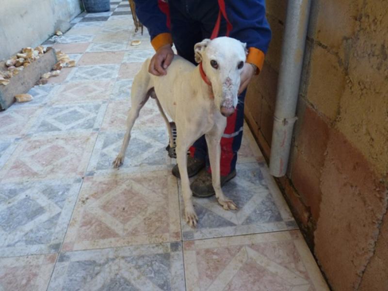 Tonin, galgo blanc, 4 ans Scooby France Adopté  Tonin310