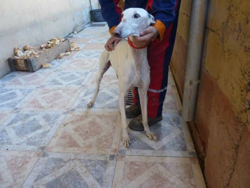 Tonin, galgo blanc, 4 ans Scooby France Adopté  Tonin410