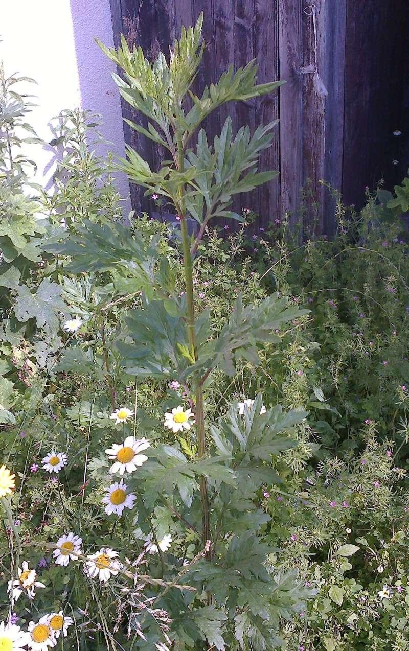 Mais qu'est ce que c'est? armoise commune, artemisia vulgaris. 20160610