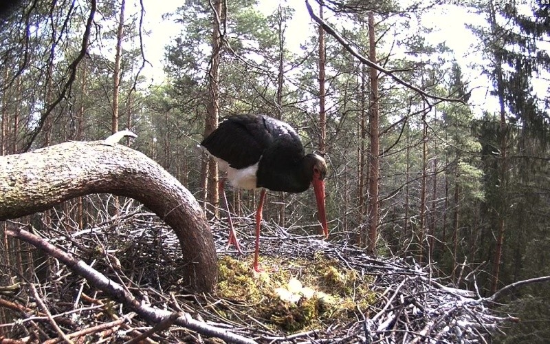 Black Stork cam 2016 Vlcsna20