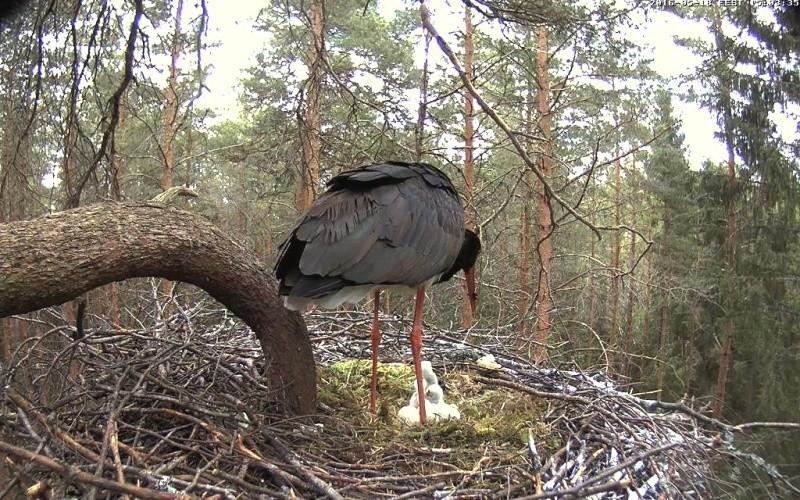 Black Stork cam 2016 - Page 2 Vlcsna29