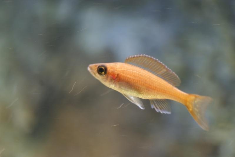blue - paracyprichromis nigripinnis blue néon Dsc02012