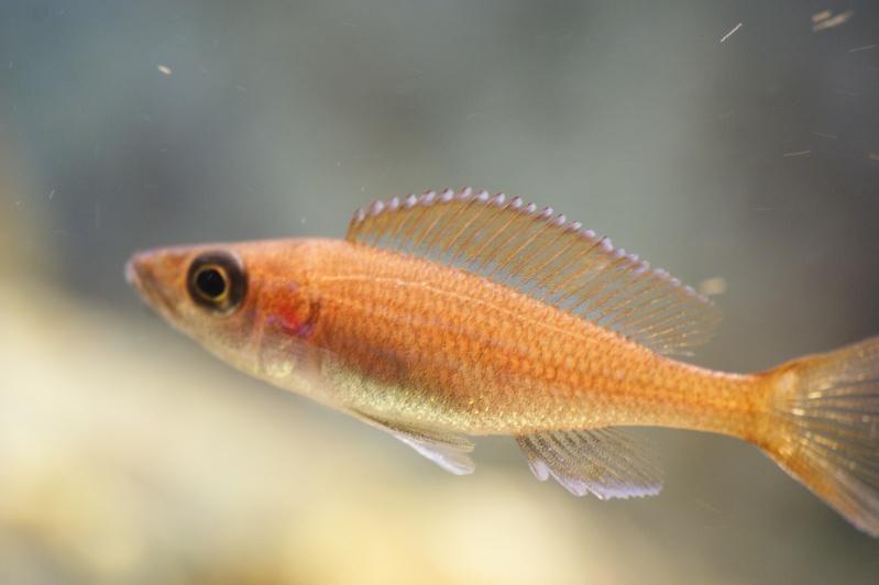 blue - paracyprichromis nigripinnis blue néon Dsc02013