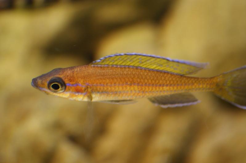 blue - paracyprichromis nigripinnis blue néon Dsc02014