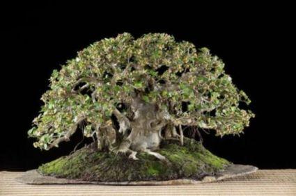 Ficus longisland Bering10