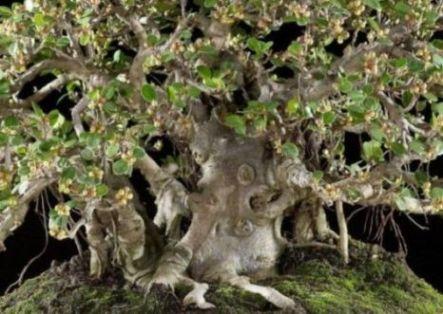 Ficus longisland Bering13
