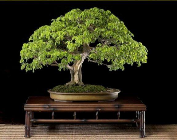 Brazillian rain tree Brazil14