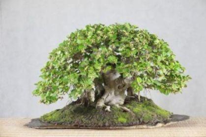 Ficus longisland Ficus_15