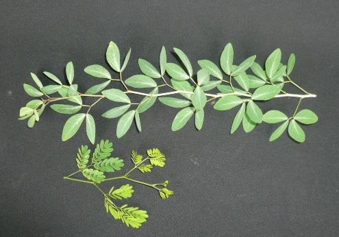Brazillian rain tree Leaves10