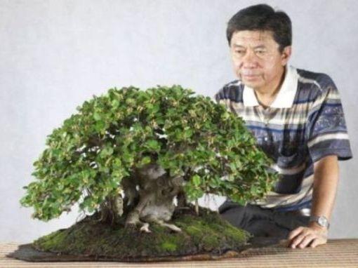 Ficus longisland Long_i10