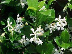 Petit résumé des Passifloras les plus résistantes Jasmin10