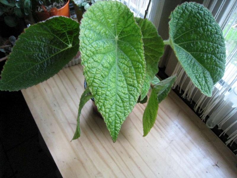 Begonia 'Gothol' Plante11
