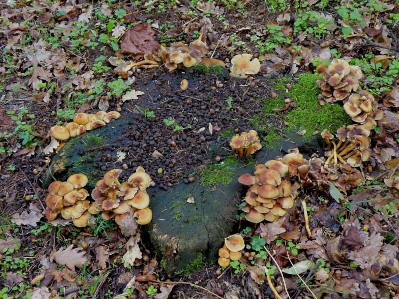 Champignons (octobre 2009 en Ardèche) et autres Marcla43