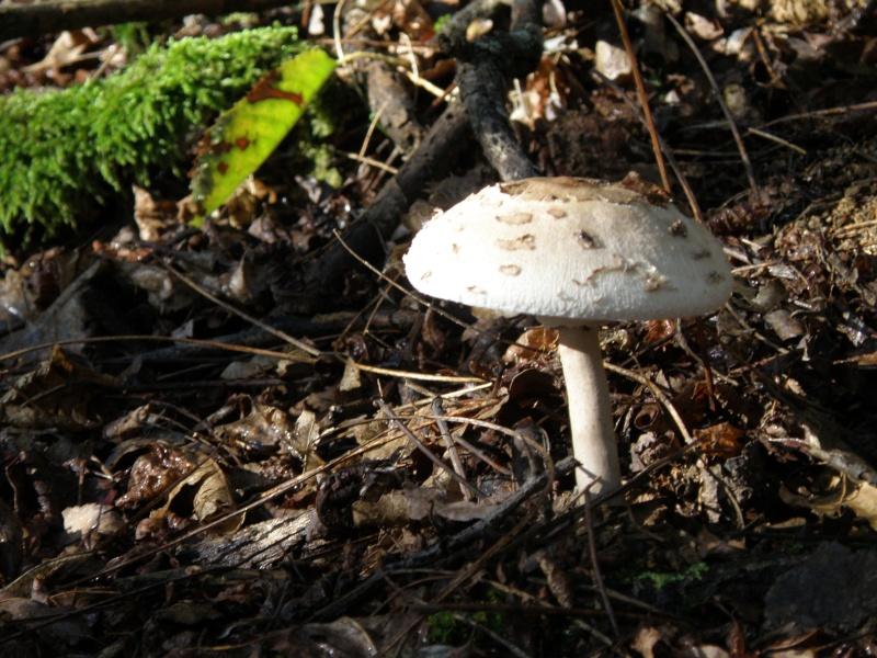 Champignons (octobre 2009 en Ardèche) et autres Marcla44