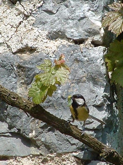 Crétins d'oiseaux Vveron13