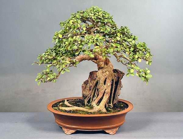 Do sycamores make good bonsai? Ficus_11
