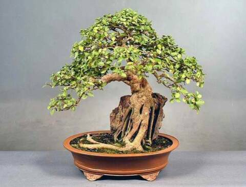 Do Sycamores Make Good Bonsai