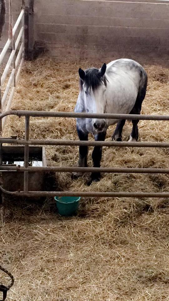 (60) ATHOS - Hongre Trait Percheron né en 2010 -  A ADOPTER (306 € + don libre) 23051610