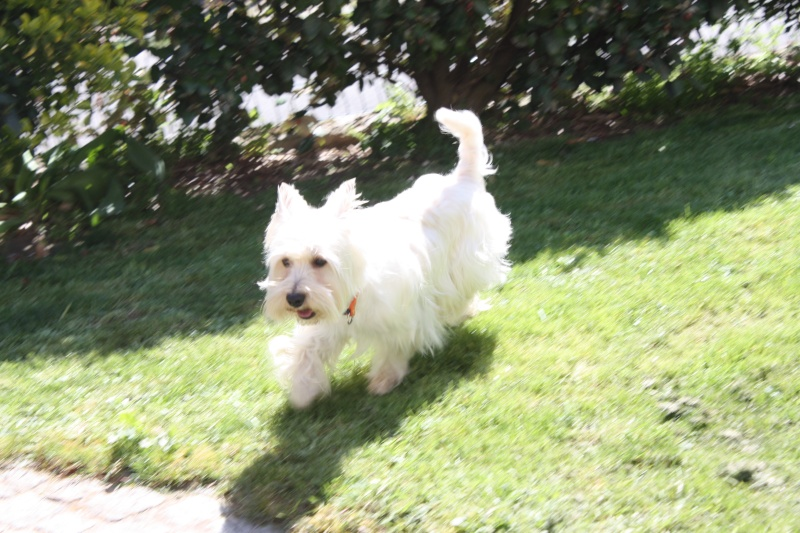 CHAMALO westie de 1 an 1/2 - Page 24 Img_5910