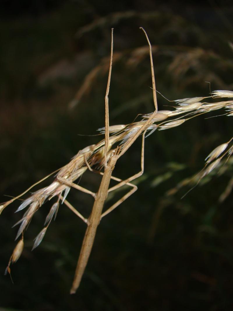 Clonopsis galica (psg 45) Image23
