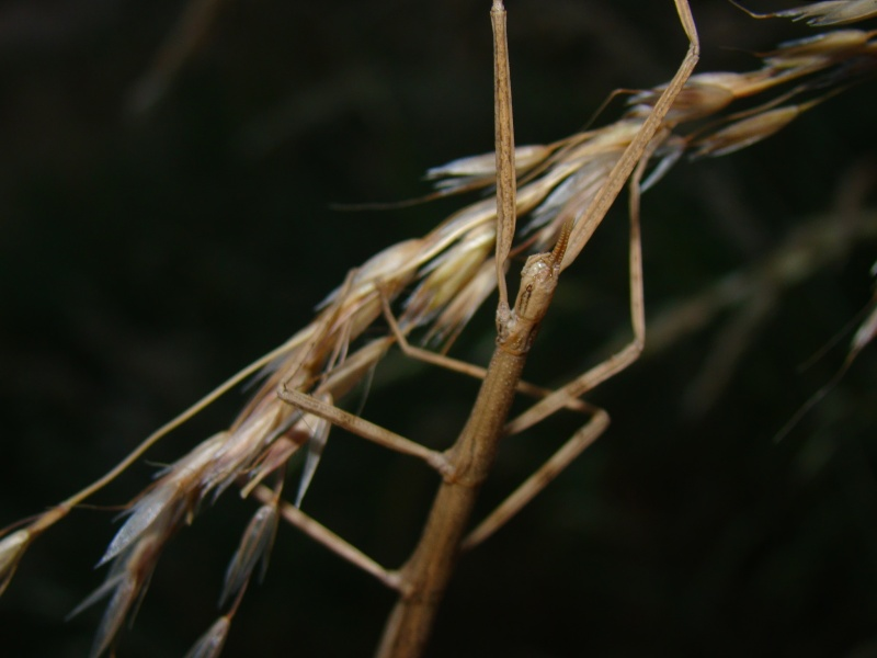 Clonopsis galica (psg 45) Image24