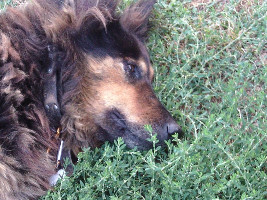 ORGANZA, femelle croisée berger allemand âgée taille moyenne née environ 2002 (Pascani)- REMEMBER ME LAND - En FALD chez lakota03 (03) - Page 8 Lupa_s10