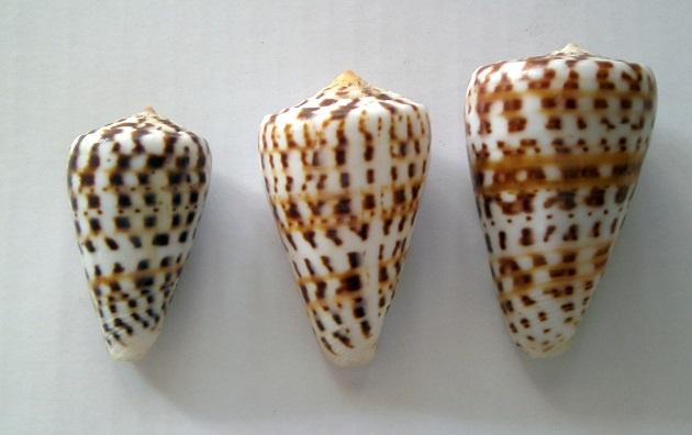 Conus (Kalloconus) pulcher   [Lightfoot], 1786 - variation sénégalaise Pict0017