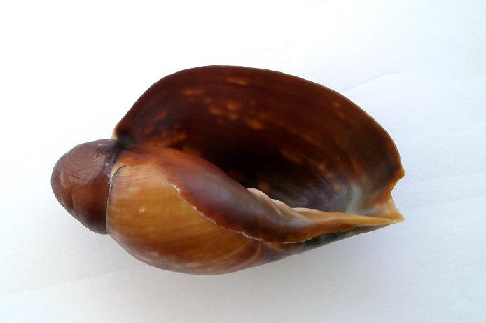 Cymbium marmoratum - Link, 1807 Pict0026