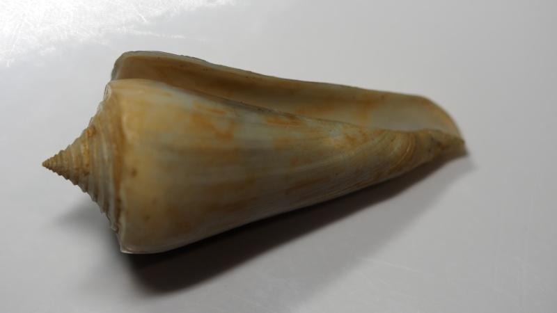 Conus (Dauciconus) poulosi Petuch, 1993 voir Conus (Attenuiconus) poulosi Petuch, 1993 P3110011
