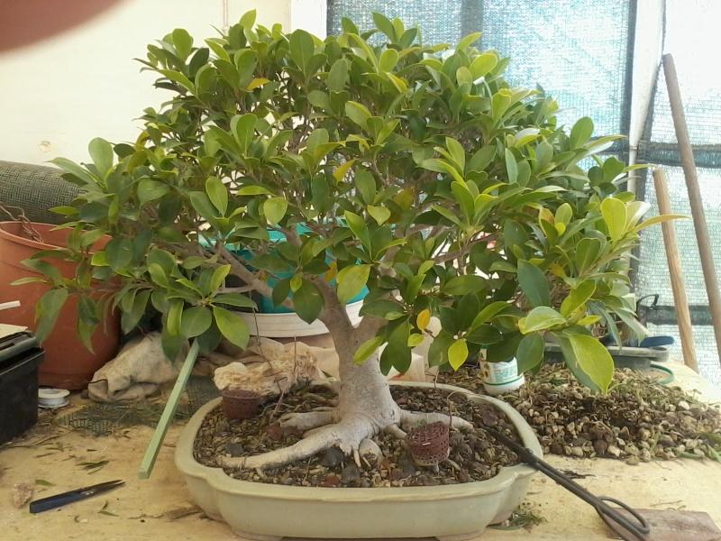 Ficus defoliation. Time is ripe.  2016-021