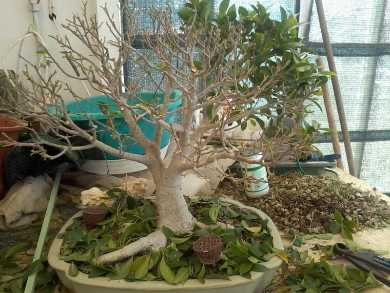 Ficus defoliation. Time is ripe.  2016-022