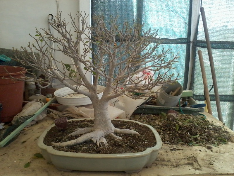 Ficus defoliation. Time is ripe.  2016-023