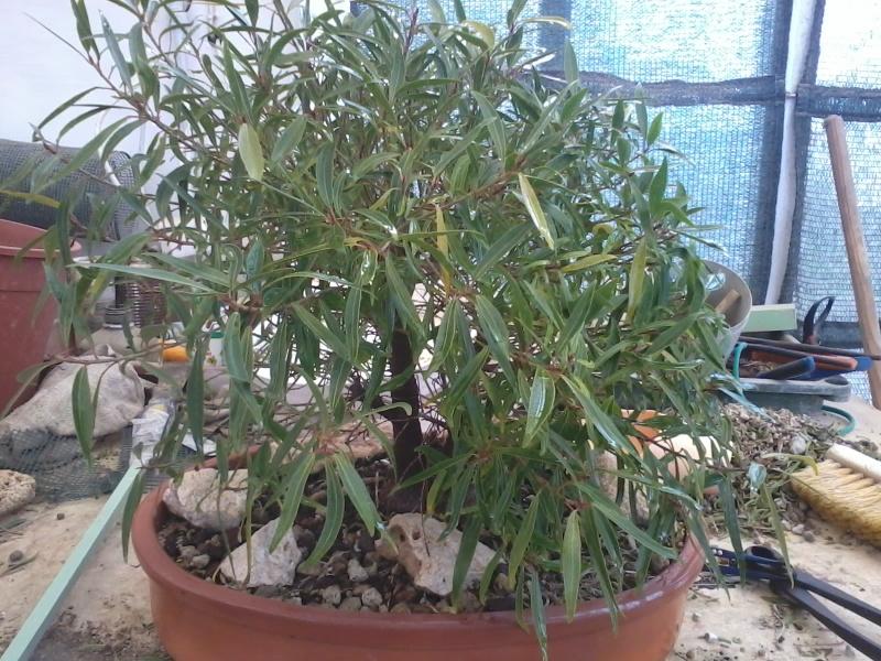Ficus defoliation. Time is ripe.  2016-024
