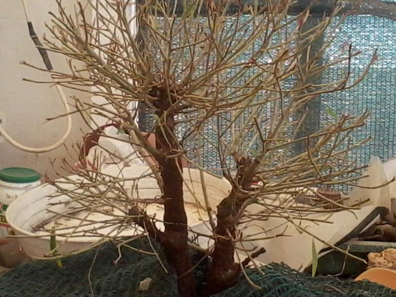 Ficus defoliation. Time is ripe.  2016-025