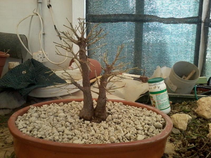 Ficus defoliation. Time is ripe.  2016-026