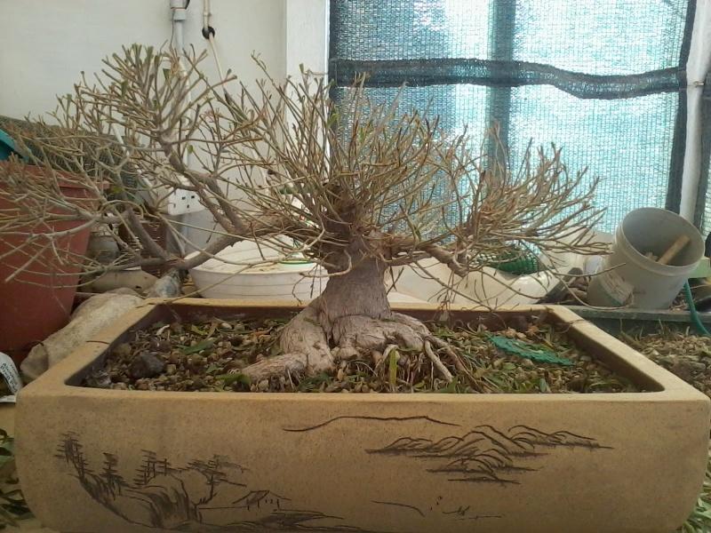 Ficus defoliation. Time is ripe.  2016-027