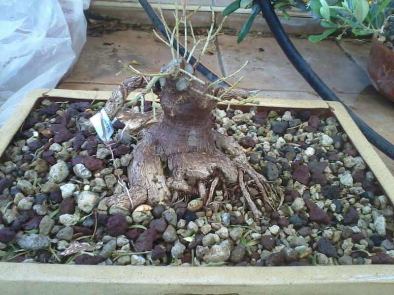 Ficus defoliation. Time is ripe.  2016-028