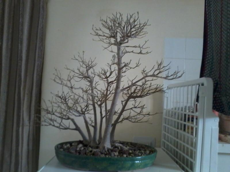 Ficus defoliation. Time is ripe.  2016-029