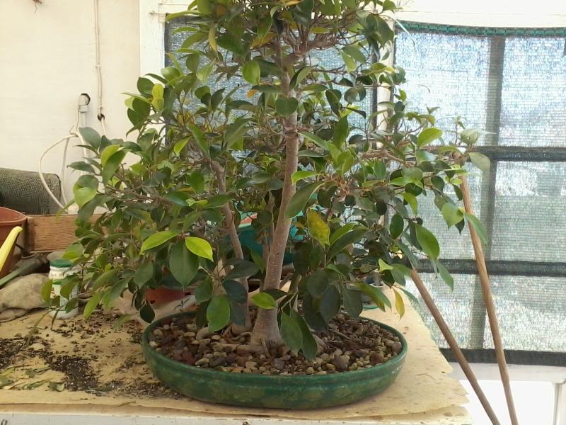 Ficus defoliation. Time is ripe.  2016-030
